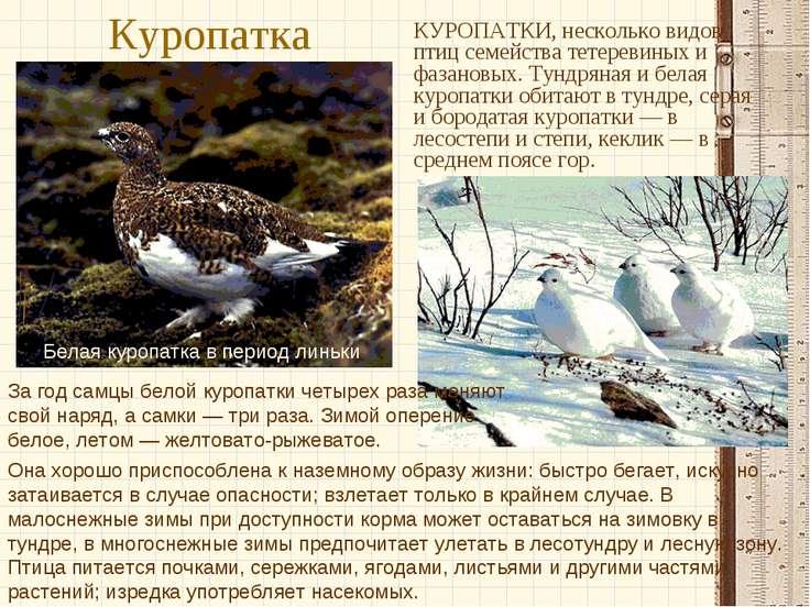 Куропатка КУРОПАТКИ, несколько видов птиц семейства тетеревиных и фазановых. ...