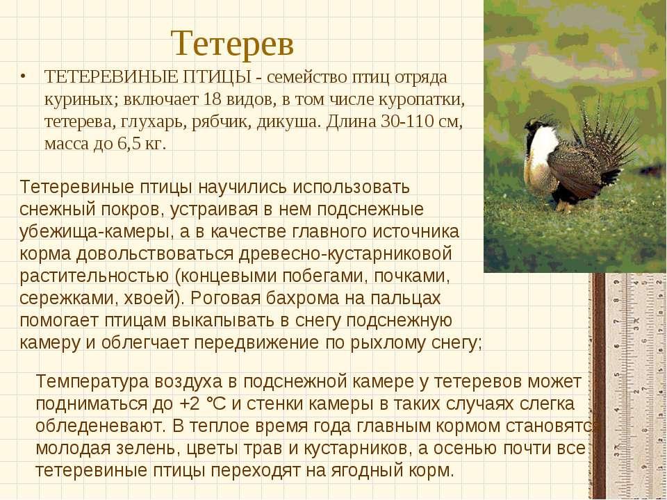 Тетерев ТЕТЕРЕВИНЫЕ ПТИЦЫ - семейство птиц отряда куриных; включает 18 видов,...