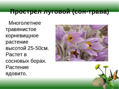 Прострел луговой (сон-трава) Многолетнее травянистое корневищное растение выс...