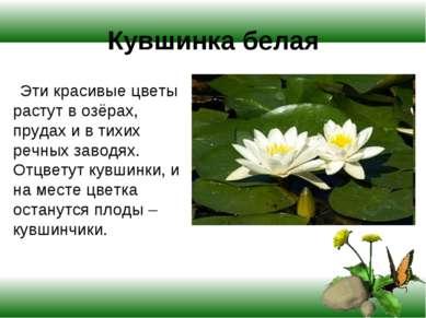 Кувшинка белая Эти красивые цветы растут в озёрах, прудах и в тихих речных за...