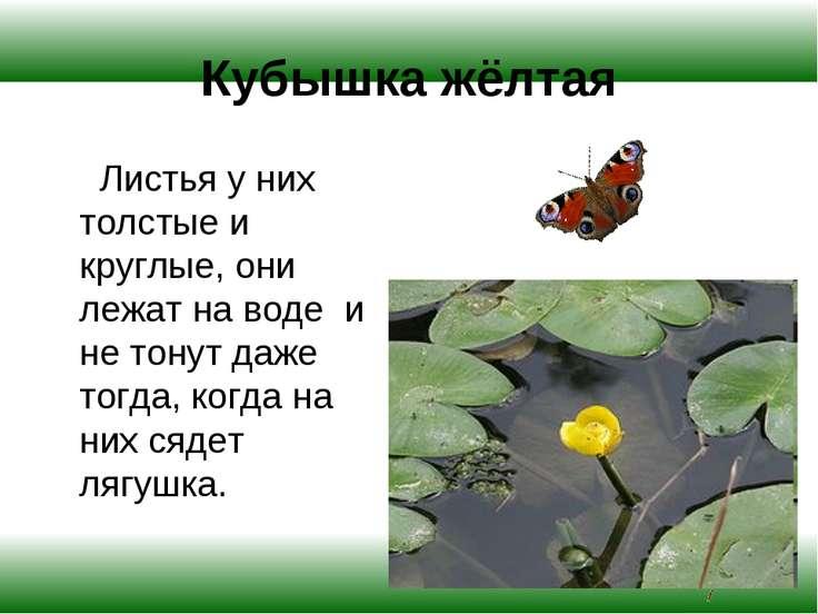 Кубышка жёлтая Листья у них толстые и круглые, они лежат на воде и не тонут д...