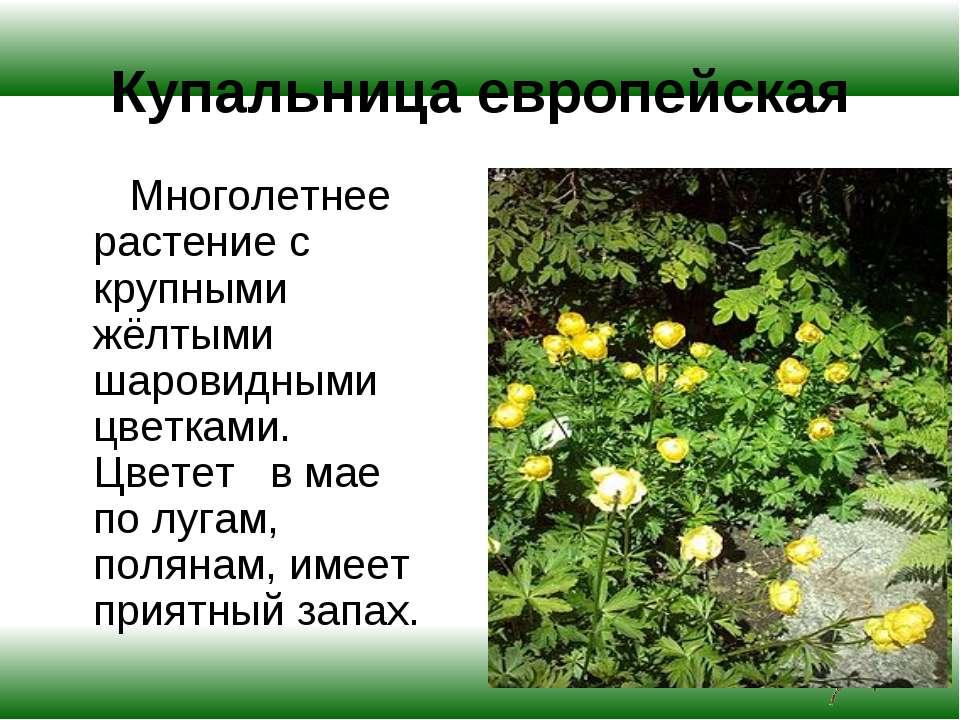 Купальница европейская Многолетнее растение с крупными жёлтыми шаровидными цв...