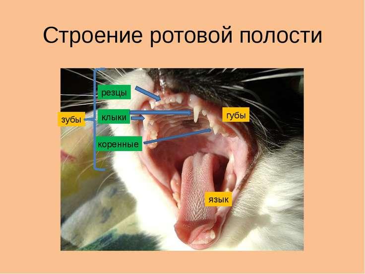Строение ротовой полости губы зубы язык резцы клыки коренные
