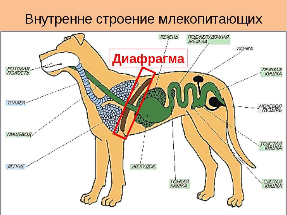 Внутренне строение млекопитающих Диафрагма