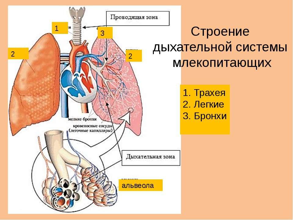 1 2 2 3 альвеола Строение дыхательной системы млекопитающих Трахея Легкие Бронхи