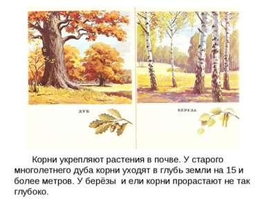 Корни укрепляют растения в почве. У старого многолетнего дуба корни уходят в ...
