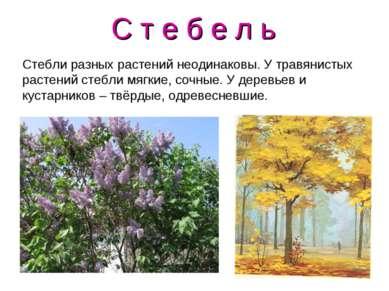 С т е б е л ь Стебли разных растений неодинаковы. У травянистых растений стеб...