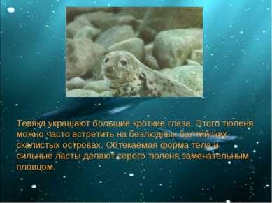 Тевяка украшают большие кроткие глаза. Этого тюленя можно часто встретить на ...