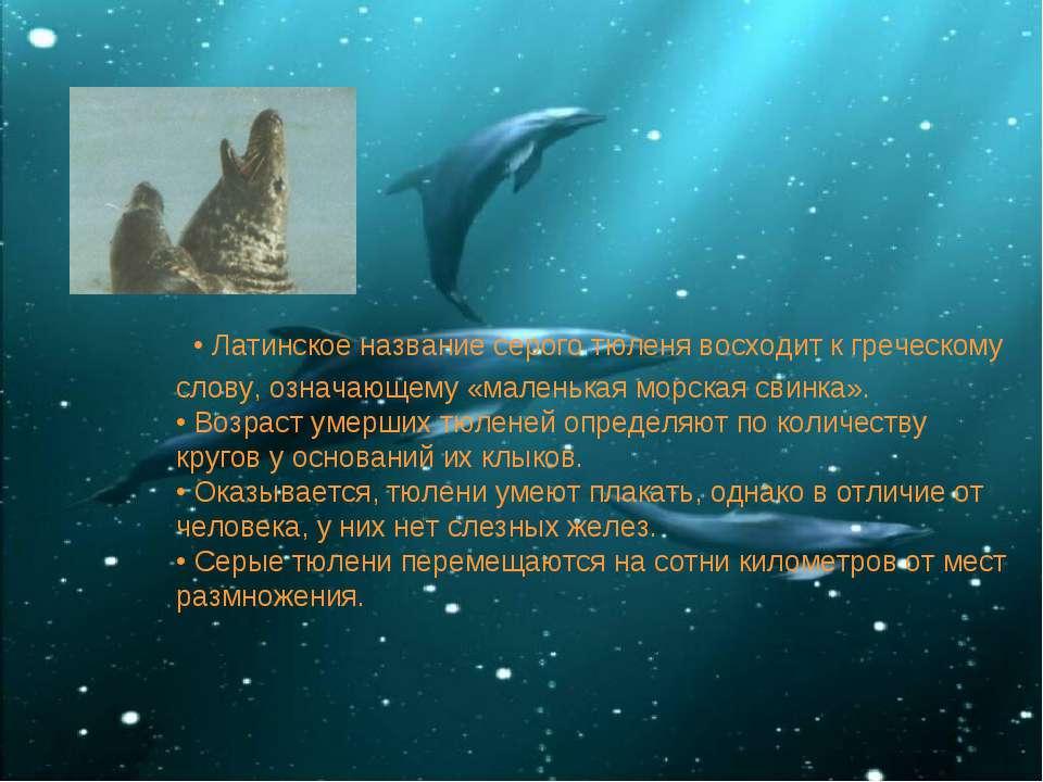 • Латинское название серого тюленя восходит к греческому слову, означающему «...