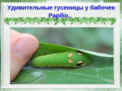 Удивительные гусеницы у бабочек Papilio..