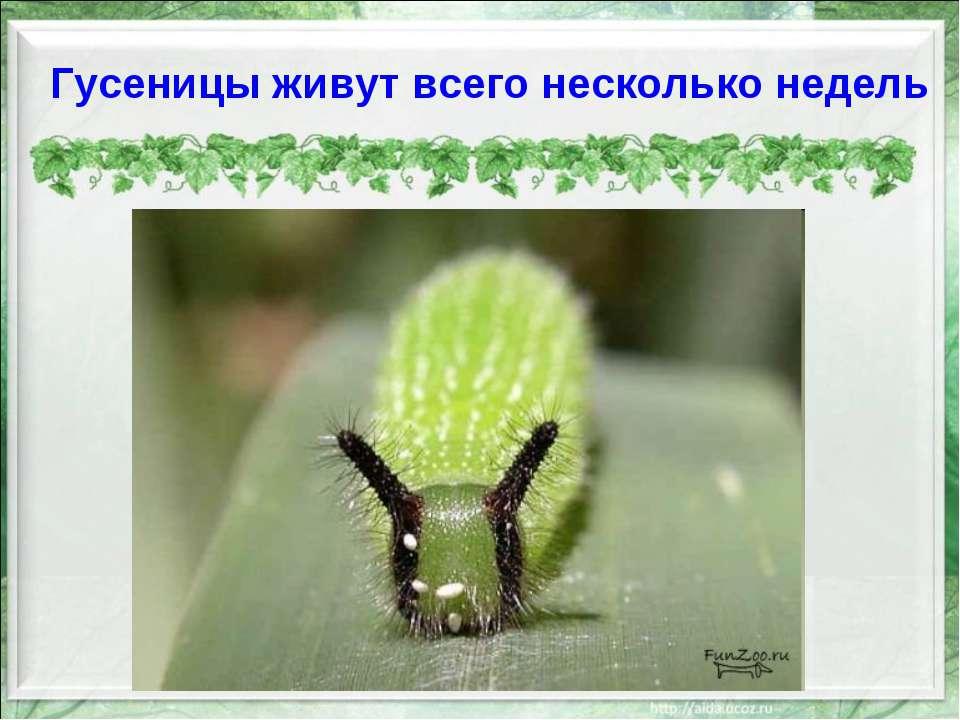 Гусеницы живут всего несколько недель