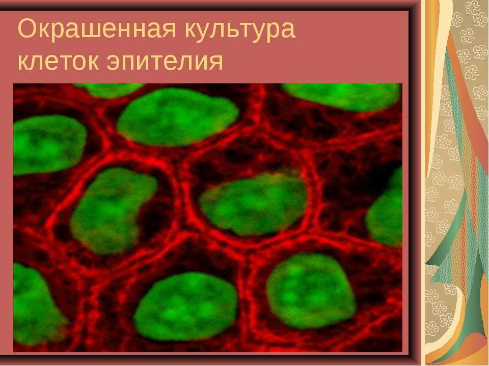 Окрашенная культура клетокэпителия