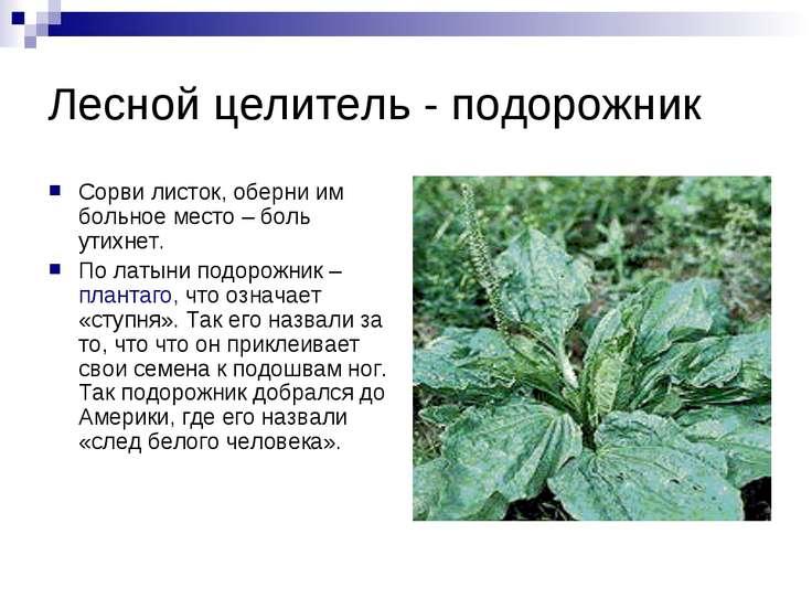 Лесной целитель - подорожник Сорви листок, оберни им больное место – боль ути...