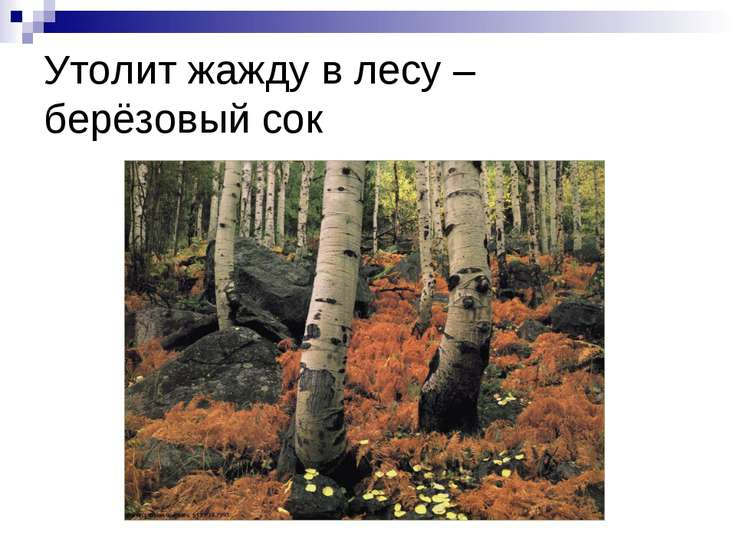Утолит жажду в лесу – берёзовый сок