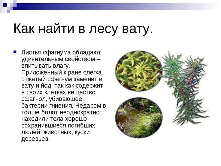 Как найти в лесу вату. Листья сфагнума обладают удивительным свойством – впит...