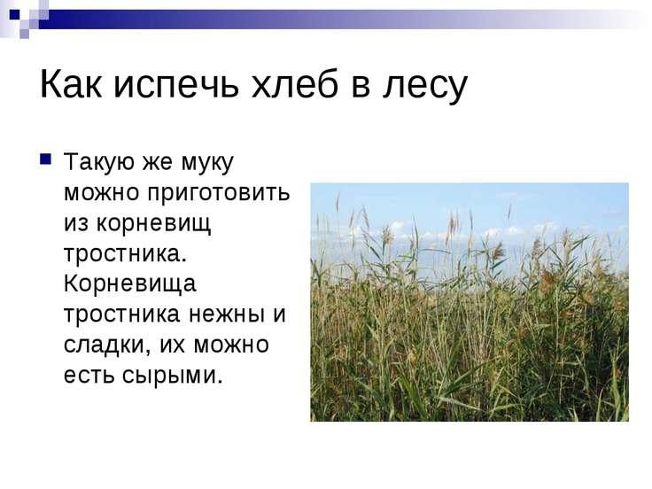 Как испечь хлеб в лесу Такую же муку можно приготовить из корневищ тростника....