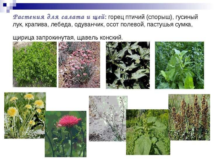 Растения для салата и щей: горец птичий (спорыш), гусиный лук, крапива, лебед...