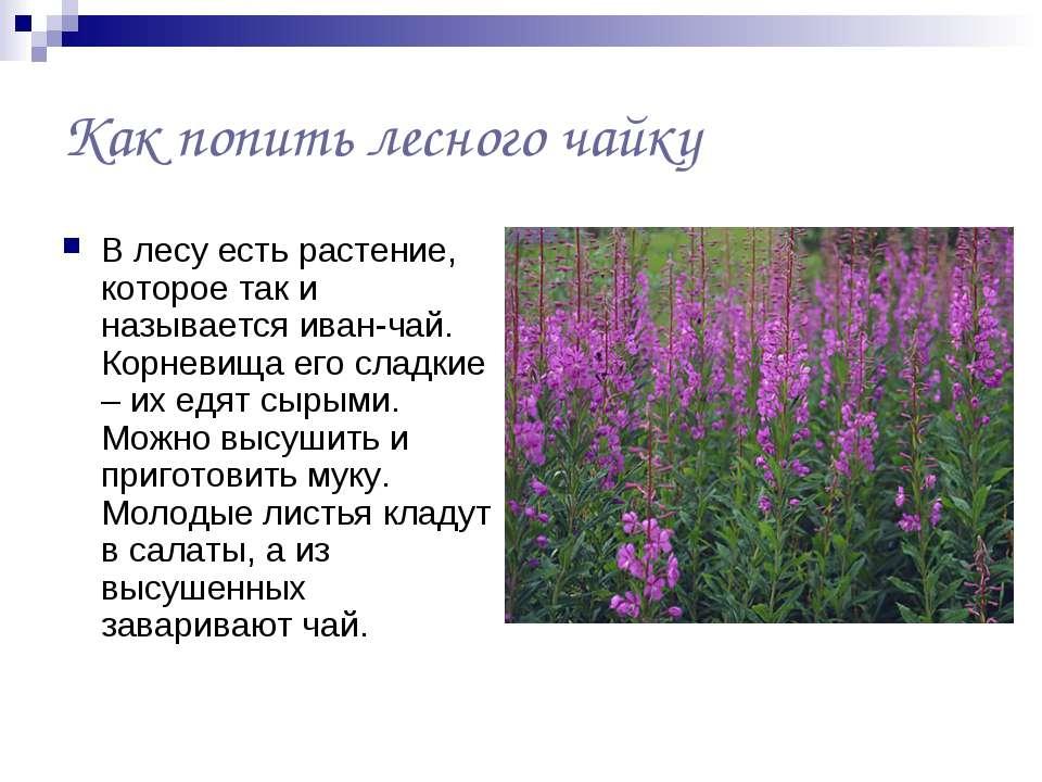 Как попить лесного чайку В лесу есть растение, которое так и называется иван-...