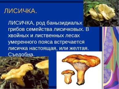 ЛИСИЧКА. ЛИСИЧКА, род банызидиальх грибов семейства лисичковых. В хвойных и л...
