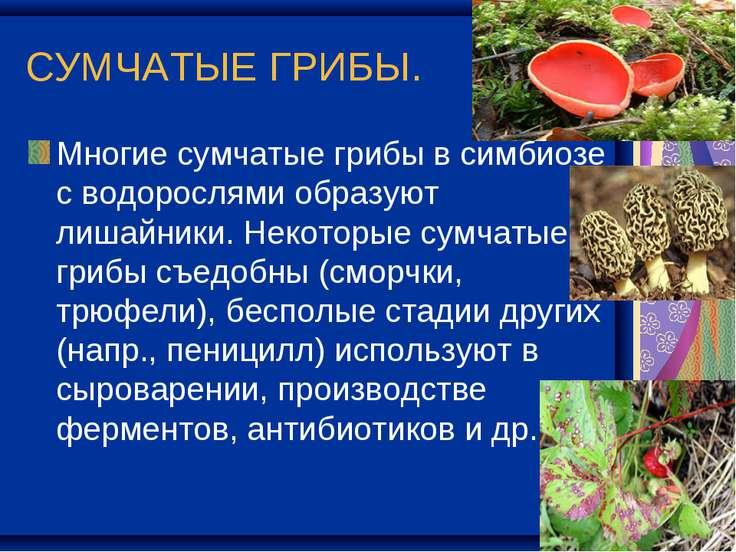 СУМЧАТЫЕ ГРИБЫ. Многие сумчатые грибы в симбиозе с водорослями образуют лишай...