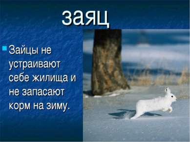 заяц Зайцы не устраивают себе жилища и не запасают корм на зиму.