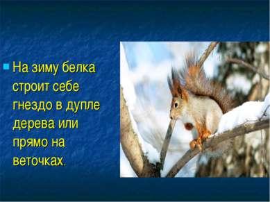 На зиму белка строит себе гнездо в дупле дерева или прямо на веточках.