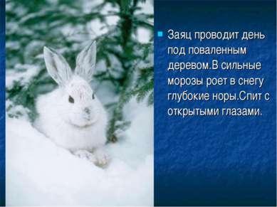 Заяц проводит день под поваленным деревом.В сильные морозы роет в снегу глубо...