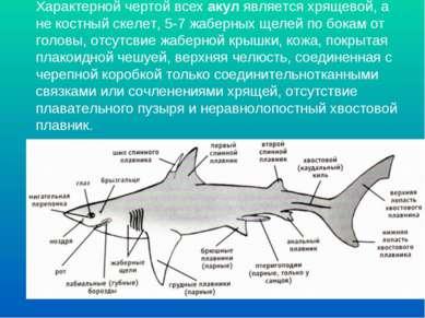 Характерной чертой всех акул является хрящевой, а не костный скелет, 5-7 жабе...