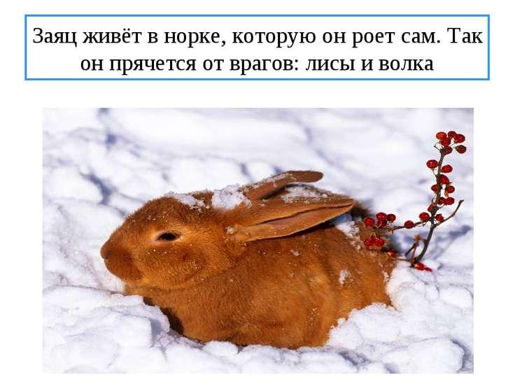 Заяц живёт в норке, которую он роет сам. Так он прячется от врагов: лисы и волка