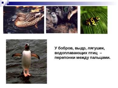 У бобров, выдр, лягушек, водоплавающих птиц – перепонки между пальцами.