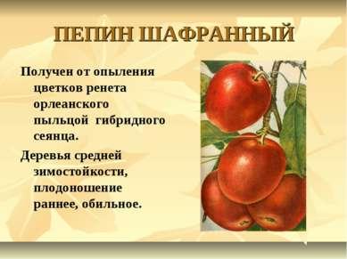 ПЕПИН ШАФРАННЫЙ Получен от опыления цветков ренета орлеанского пыльцой гибрид...