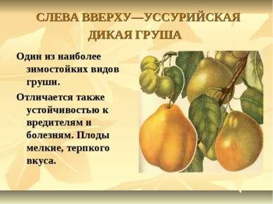 СЛЕВА ВВЕРХУ—УССУРИЙСКАЯ ДИКАЯ ГРУША Один из наиболее зимостойких видов груши...