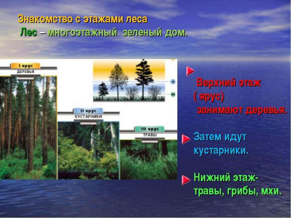 Знакомство с этажами леса Лес – многоэтажный зеленый дом. Верхний этаж ( ярус...
