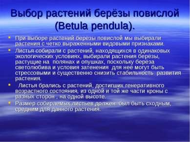 Выбор растений берёзы повислой (Betula pendula). При выборе растений берёзы п...