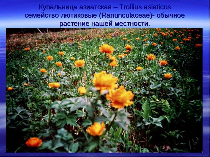 Купальница азиатская – Trollius asiaticus семейство лютиковые (Ranunculaceae)...
