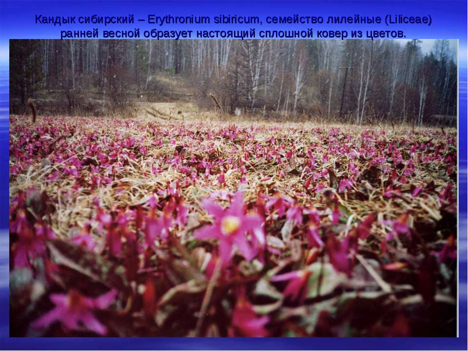 Кандык сибирский – Erythronium sibiricum, семейство лилейные (Liliceae) ранне...