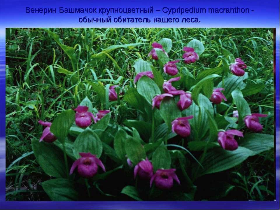 Венерин Башмачок крупноцветный – Cypripedium macranthon - обычный обитатель н...