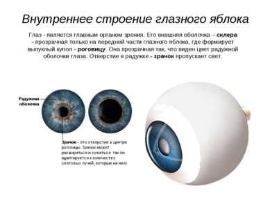Внутреннее строение глазного яблока Глаз - является главным органом зрения. Е...