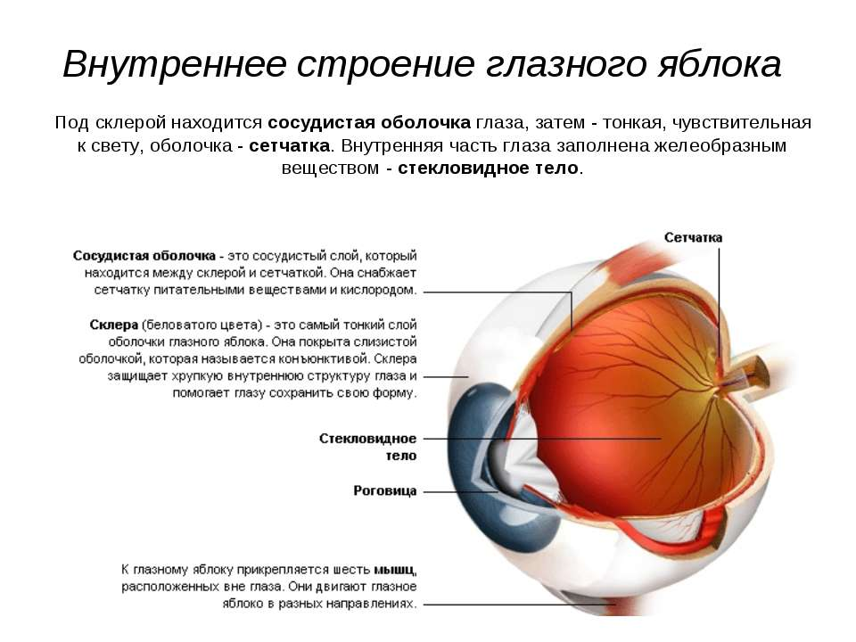 Внутреннее строение глазного яблока Под склерой находится сосудистая оболочка...