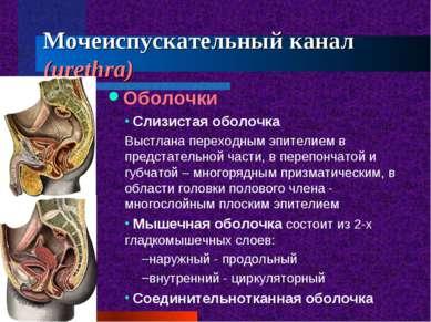 Мочеиспускательный канал (urethra) Оболочки Слизистая оболочка Выстлана перех...