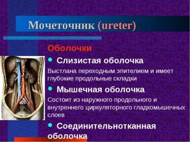 Мочеточник (ureter) Оболочки Слизистая оболочка Выстлана переходным эпителием...