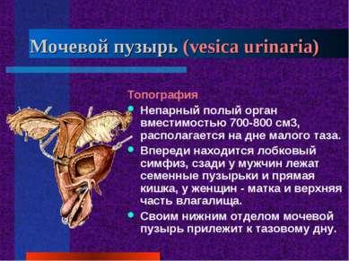 Мочевой пузырь (vesica urinaria) Топография Непарный полый орган вместимостью...