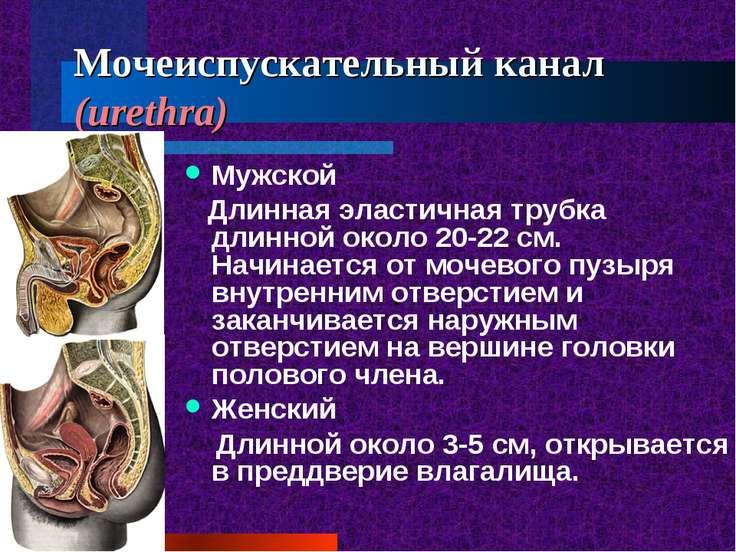 Мочеиспускательный канал (urethra) Мужской Длинная эластичная трубка длинной ...
