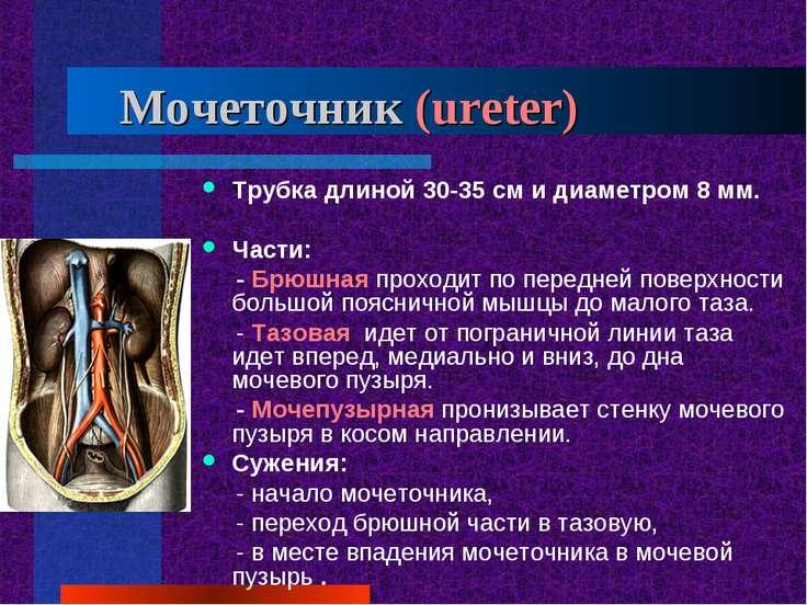 Мочеточник (ureter) Трубка длиной 30-35 см и диаметром 8 мм. Части: - Брюшная...