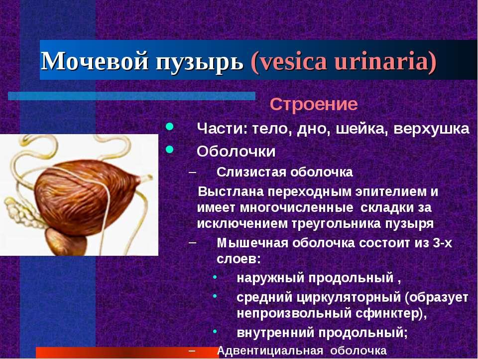 Мочевой пузырь (vesica urinaria) Строение Части: тело, дно, шейка, верхушка О...