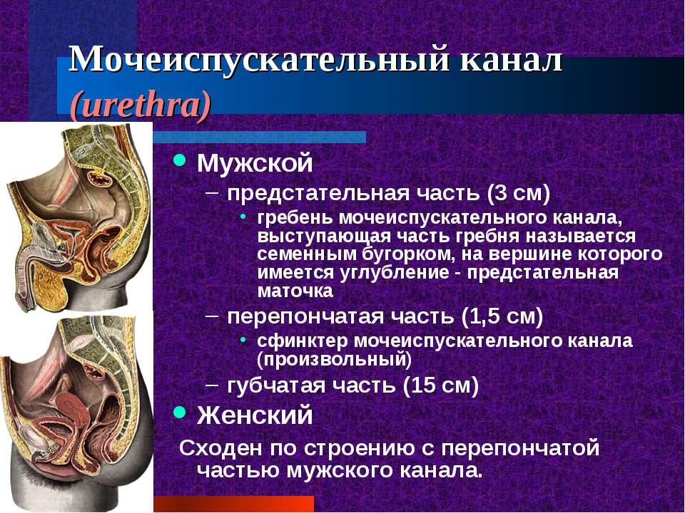 Мочеиспускательный канал (urethra) Мужской предстательная часть (3 см) гребен...