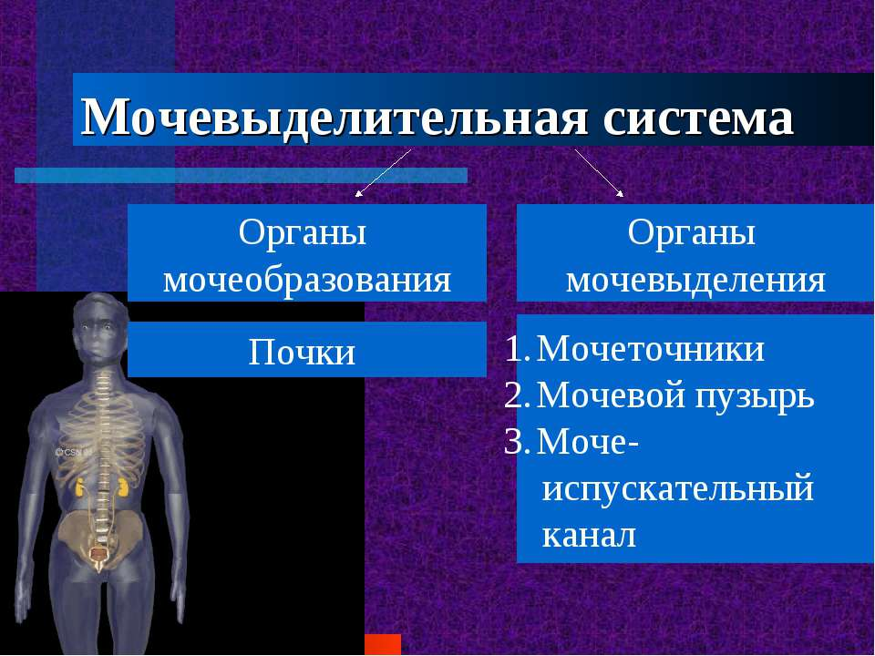 Мочевыделительная система Органы мочеобразования Органы мочевыделения Почки М...