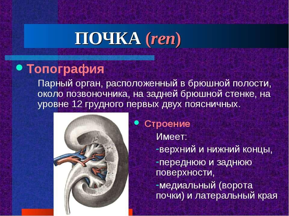 ПОЧКА (ren) Топография Парный орган, расположенный в брюшной полости, около ...