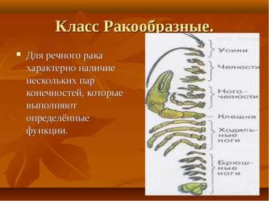 Класс Ракообразные. Для речного рака характерно наличие нескольких пар конечн...