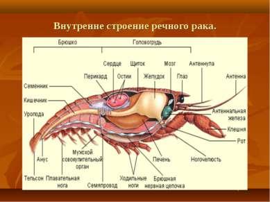 Внутренне строение речного рака.